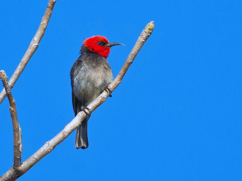 Red Headed Honeyeater