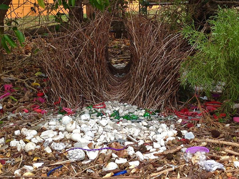 Great Bowerbird Bower
